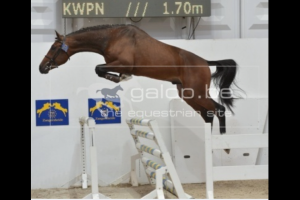Europe RV (Mr. Blue x Cassini I) finally approved Zangersheide stallion. Jumping youngster 1.35m classes with rider Marc Houtzager.